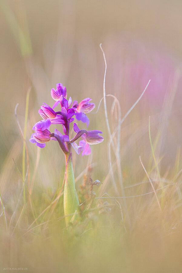 Kleines Knabenkraut - Orchis morio