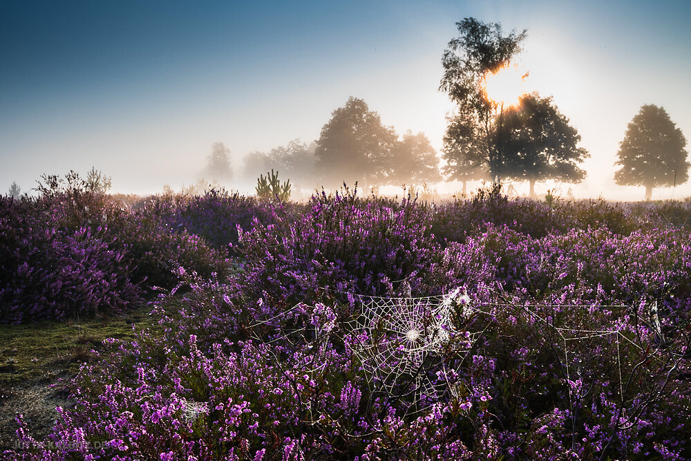 Heideblüte - Niederlausitz