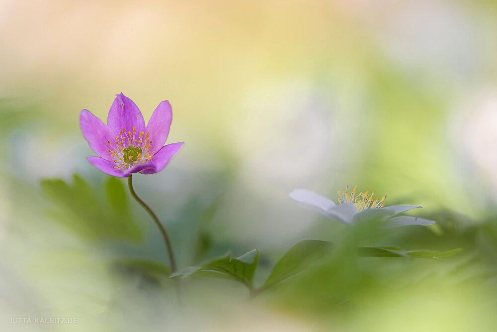 Buschwindröschen - Anemone nemerosa