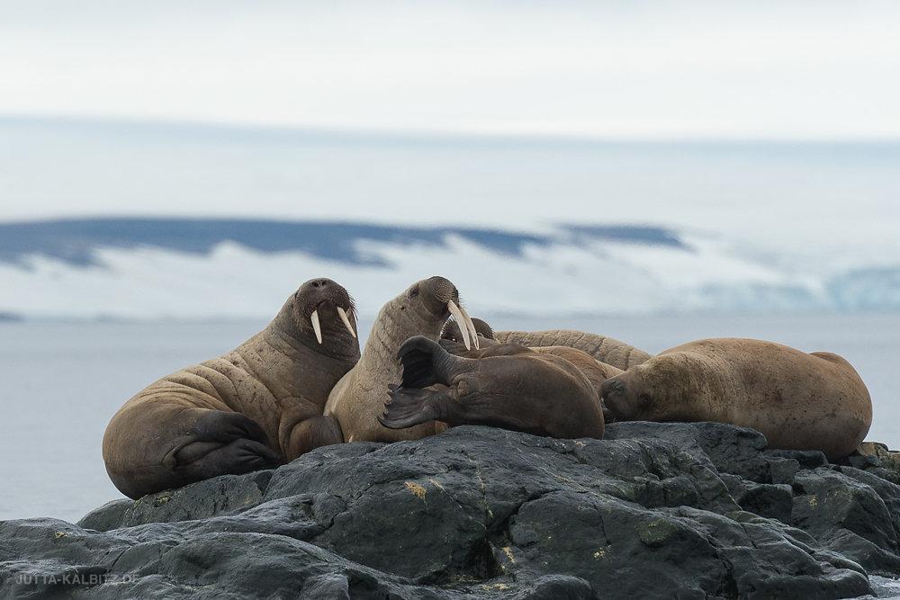 Svalbard-fauna-5a.jpg